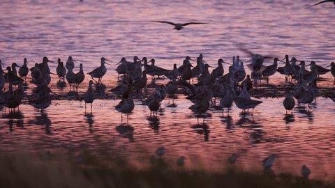 Flock of Godwits shorebirds at sunset near Miranda in New Zealand