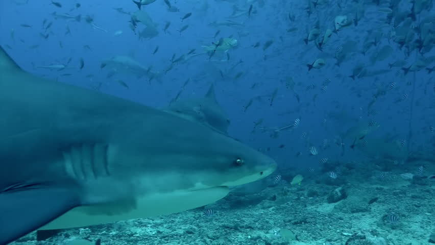 Diving with shark underwater Pacific Ocean Tonga. People swim with sharks and exploring marine life of wildlife animals.