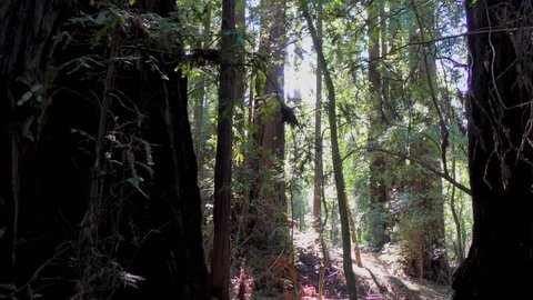 Trees in the Henry Cowell State Park, California, USA
