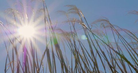 Peaceful view of reeds back lit by a vibrant and intense sun get swept to their side as strong gusts of wind power through a dense field.