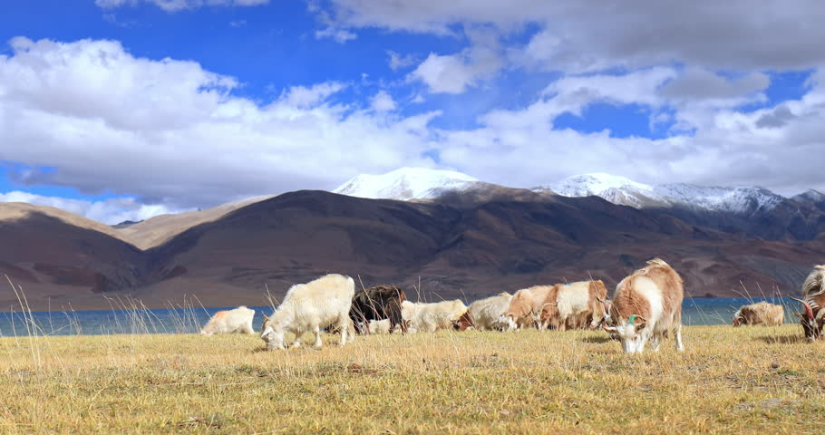 Rural Ladakh countryside scenic panorama of pashmina goats pasturing with snow Himalaya mountains and Tso Moriri lake on background #1028874842