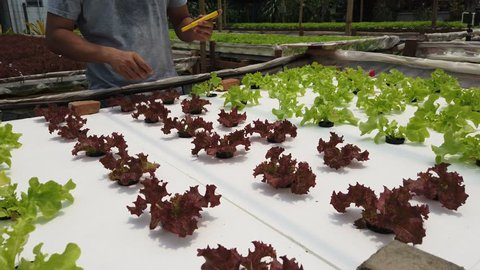 Smart agriculture technology concept - Farmer ckecking water ph value of organic hydroponic red oak in plant nursery farm. Smart agriculture technology.