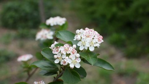 Flowers of Aronia. Aronia is a genus of deciduous shrubs, the chokeberries, in the family Rosaceae native to eastern North America and most commonly found in wet woods and swamps.