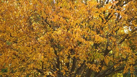 Autumn Leaves, Fall Trees Forest background, Leaves Are Moving In The Wind, Fall Leaves Close Up Background, Beautiful Landscape In Fall Season, Autumn Leaves In Park