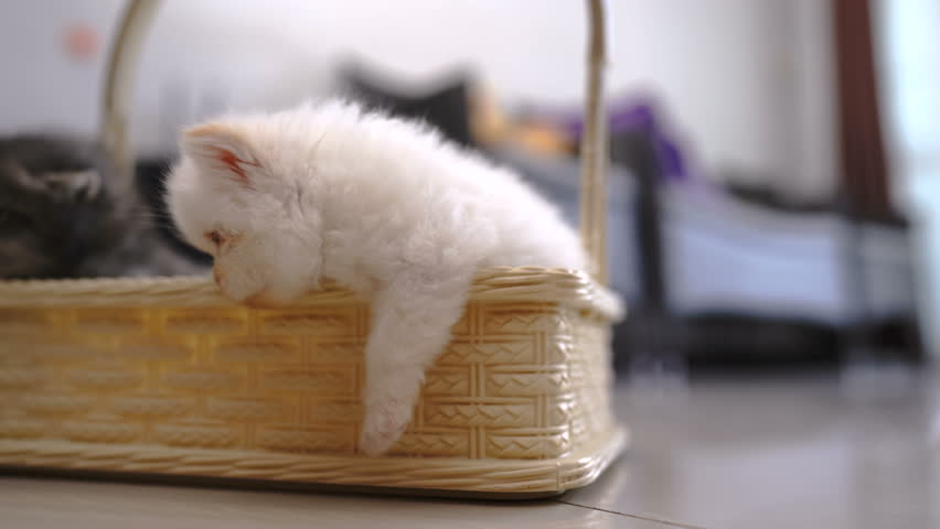 Persian Kittens, White Persian Kittens Stock Footage Video (100%  Royalty-free) 1029071852   Shutterstock