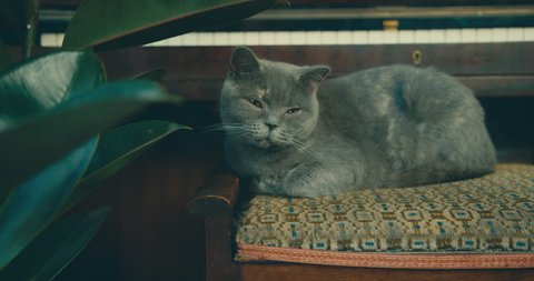 A British Shorthair cat on a piano stool is looking around