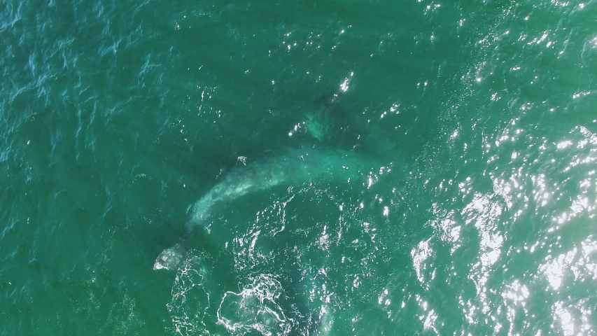 overhead close up drone shot of grey whales in shallow water off Baja California, 3 cow calf pairs playing and frolicking with each other