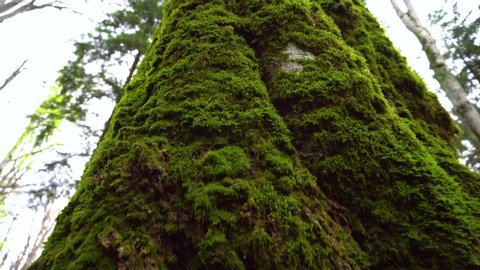 Crane camera movement of old tree with moos and tree lichens on it. Tall Tree filmed from bottom to top. High trees in the forest. A trunk of tall tree rising to the sky.