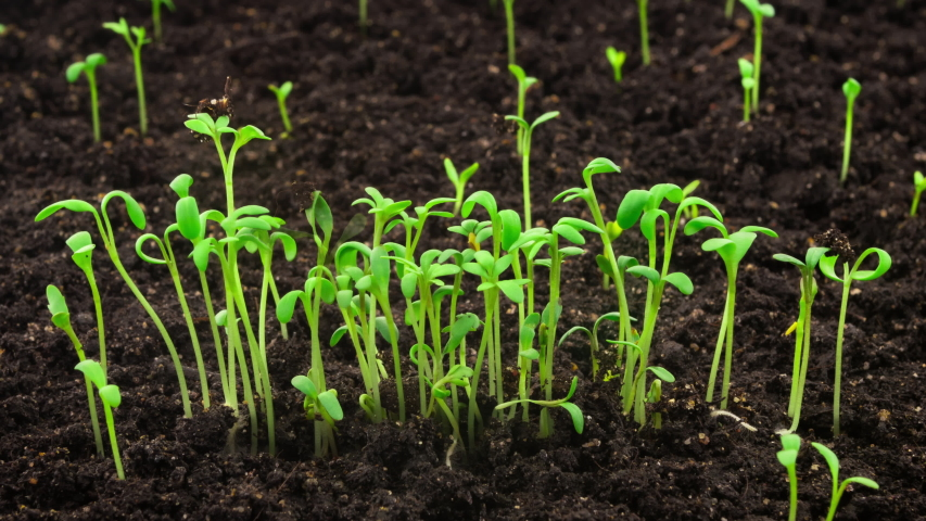 Growing plants in timelapse, sprouts germination newborn cress salad plant in greenhouse agriculture | Shutterstock HD Video #1029618422