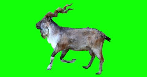 Isolated Markhor male cyclical running. Can be used as a silhouette. Green screen