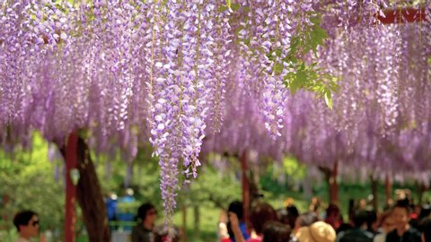 Spring flowers series, beautiful wisteria trellis waving in the wind, Wisteria sinensis (Chinese wisteria) is woody, deciduous, perennial climbing vine in genus Wisteria.