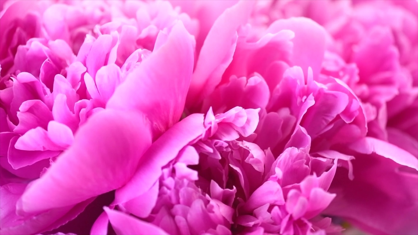 Beautiful pink peony bouquet background. Blooming peony or roses flowers rotating close-up. Wedding backdrop, Valentine's Day concept. Birthday bouquet, bunch. Blossom, flower closeup. 4K UHD
