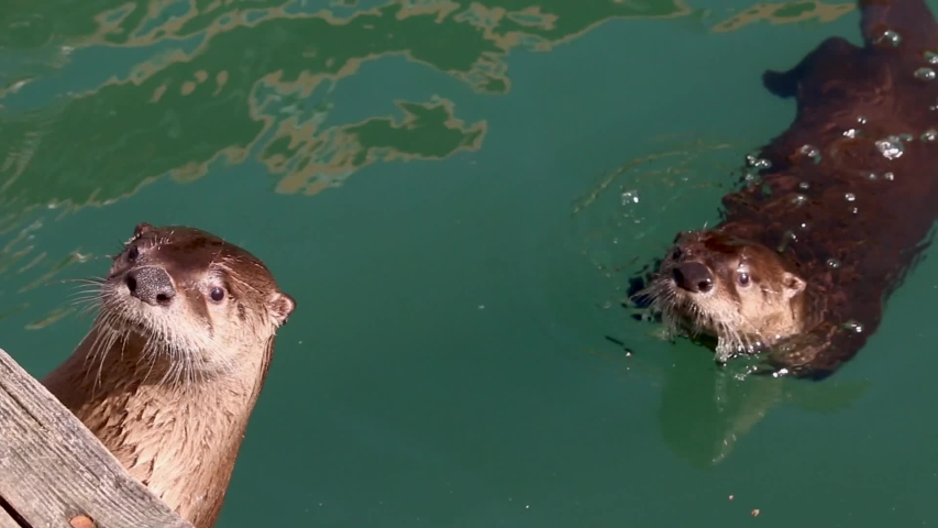 North American River Otter (Lontra canadensis) looking over dock
