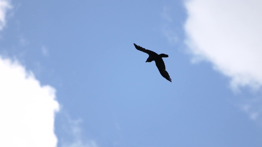 raven slowly flies across the blue sky #1030398602