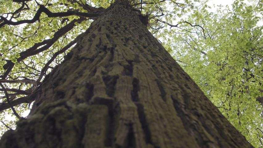 Oak tree with bright green leaves | Shutterstock HD Video #1030443722