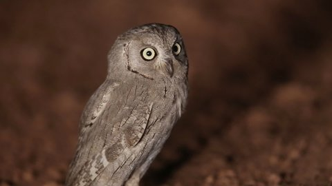 Pallid Scops Owl lifting its ears and flying away. Night video. Natural shot
