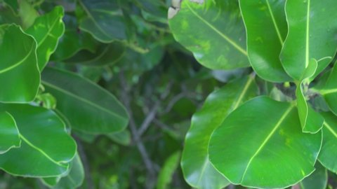 Seychelles. Praslin Island. Close up leaves of a tropical tree growing on an exotic island in the Indian Ocean. Plants and trees in the Seychelles.