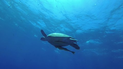 Sea turtle on blue water surface, Low-angle shot, Underwater shots. Green Sea Turtle - Chelonia mydas, 4K - 60 fps