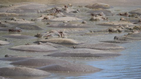 Biggest Hippo Pool. Over hundred hippopotamus in the Lake. Many Oxpecker Birds around. Serengeti, Tanzania, Africa