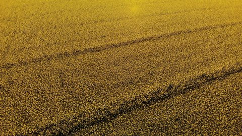 Spring rapeseed field with wavy abstract landscape pattern. Yellow rape field on sunset in the spring. Drone shot of blooming field, yellow rape.