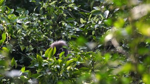 Dusky leaf monkeys or Dusky Langur eating leaves in the rain forest , Thailand.
