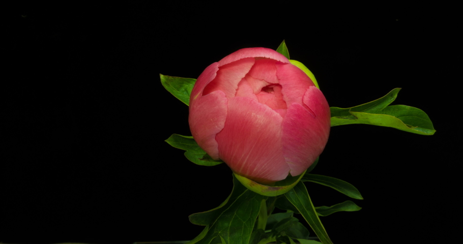 Timelapse of pink peony flower blooming on black background in 4K | Shutterstock HD Video #1030908452