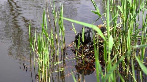 Mother duck feeding little ducklings in pond.Black ducks living in the wild near water