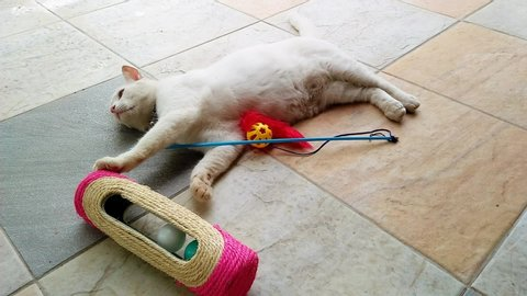 The white fluffy fat cat is playing cat toys on the floor