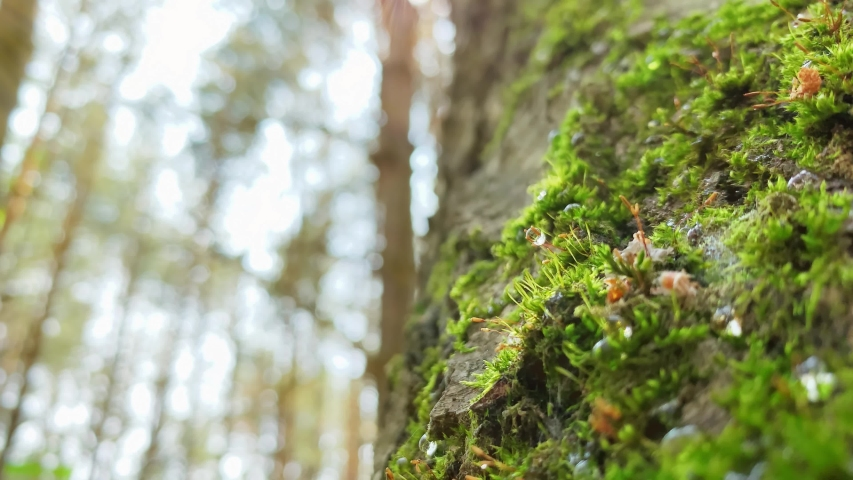 With sound. Pollen particles on the background of the forest. Drops of water on the moss of the tree in the early morning on a sunny day | Shutterstock HD Video #1031101232