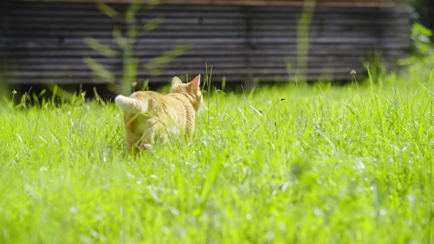 Ginger cat walk over the green lawn 4K | Shutterstock HD Video #1031108582