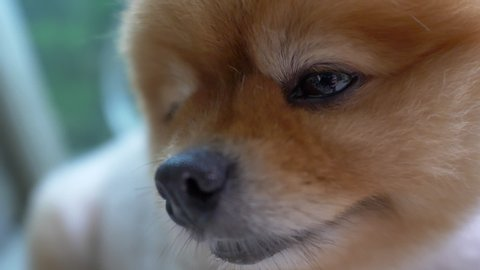 close-up face of pomeranian dog cute pets, slow motion animal eye