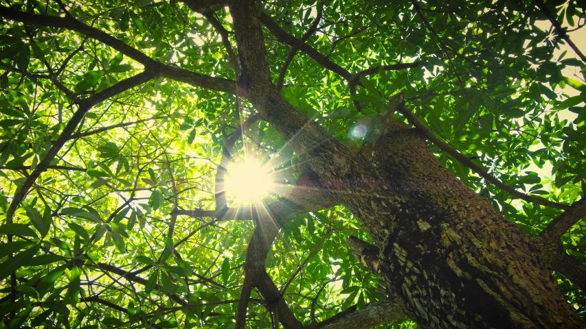 Rotate and Looking up shot on Devil Tree, Alstonia scholaris tree, POV view. Beautiful Sun's rays through tops of trees, sun shines through foliage.  | Shutterstock HD Video #1031340962