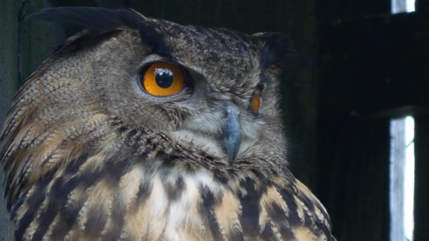 Close-Up Shot of a Eurasian Eagle Owl #1031420792