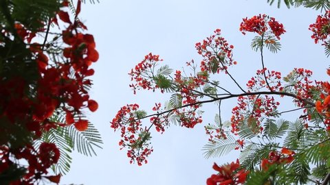 Red flowers swaying by the wind with butterfly. Blooming flamboyant flower. Flamboyant tree, Royal poinciana or flame tree.