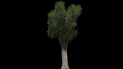 Black Poplar Tree (Populus nigra) isolated on black background with alpha channel - Apple ProRes 4444 with Alpha channel, 10bit high quality footage