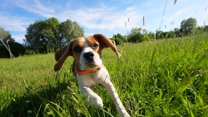 Playful young dog running at sunny meadow, tall grass lash funny muzzle, long flappers ears fly in air. Slow motion shot, beagle try to chase moving camera then slow down #1032094562