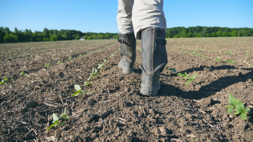 Follow to male farmer's feet in boots walking through the small green sprouts of sunflower on the field. Legs of young man stepping on the dry soil at the meadow. Low angle view Close up Slow motion | Shutterstock HD Video #1032152522
