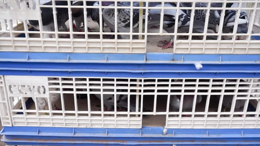 Different type of domestic doves in big cages  | Shutterstock HD Video #1032439862