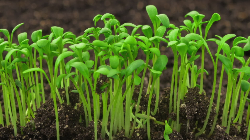 Growing plants in timelapse, sprouts germination newborn cress salad plant in greenhouse agriculture, close up | Shutterstock HD Video #1033136102