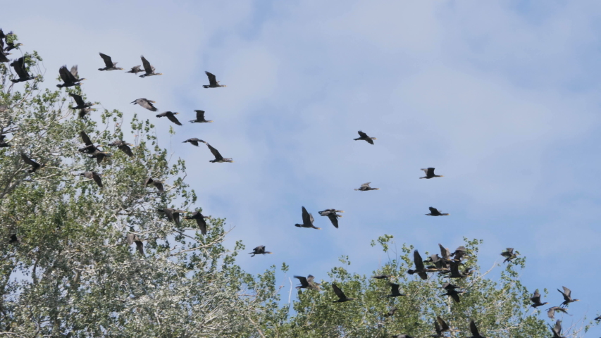 Flock of  geese flying in an imperfect formation. Slow motion.  Birds Geese flying in formation, Blue sky background. Migrating Greater birds flying in Formation . Big Flock of birds. | Shutterstock HD Video #1033223372