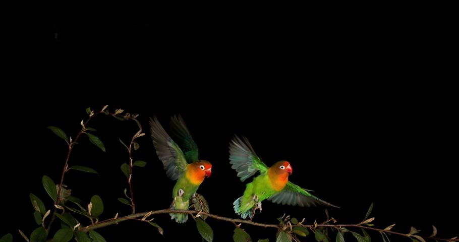 Fischer's Lovebird, agapornis fischeri, Pair standing on Branch, taking off, in flight, slow motion 4K   Shutterstock HD Video #1033332512