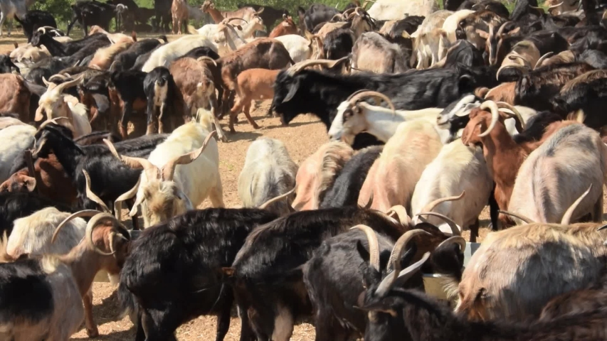 Goat herd with more than one hundred animals at the feeding place under trees. The goats and females are scrambling for a place on the feed trough.  | Shutterstock HD Video #1034058632