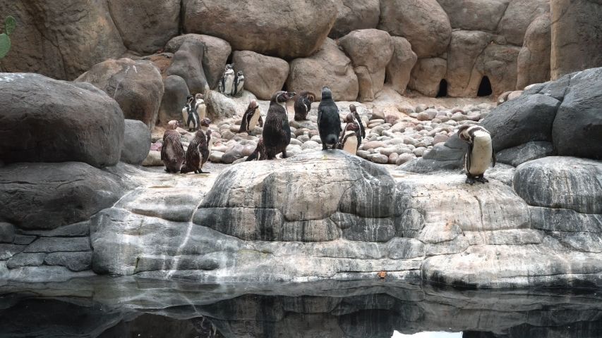 Penguin family (Pygoscelis antarctica) standing on the rocks near the water | Shutterstock HD Video #1034113502