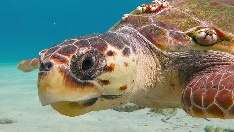 Curious big loggerhead sea turtle (Caretta caretta) swimming close to the camera. Tropical marine life. Underwater video from scuba diving with aquatic animal. Turtles underwater.