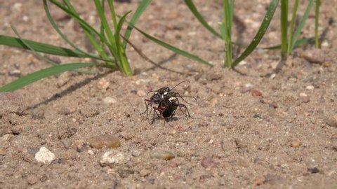 Two beetles Northern Dune Tiger Beetle (Cicindela hybrida) copulate in the sand, moving the mandibles