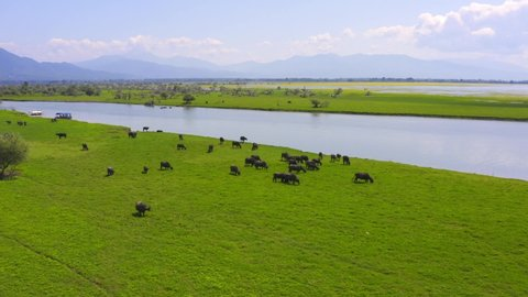 buffalos graze on the banks of the river. Aerial photography. Buffalos eat grass by the river. Kerkini Lake. Greece. buffalos grass walking