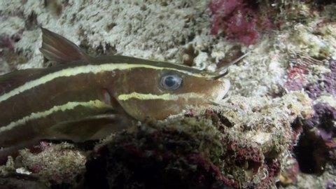 Striped Eel Catfish (Plotosus lineatus) - face Close Up - Philippines