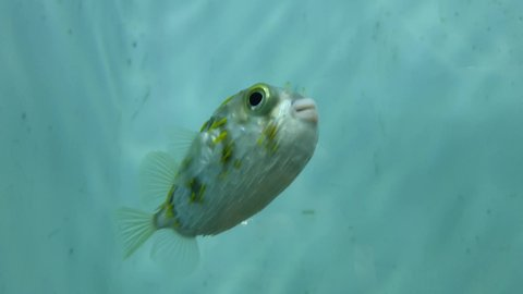 Beautiful blowfish swimming in water shot