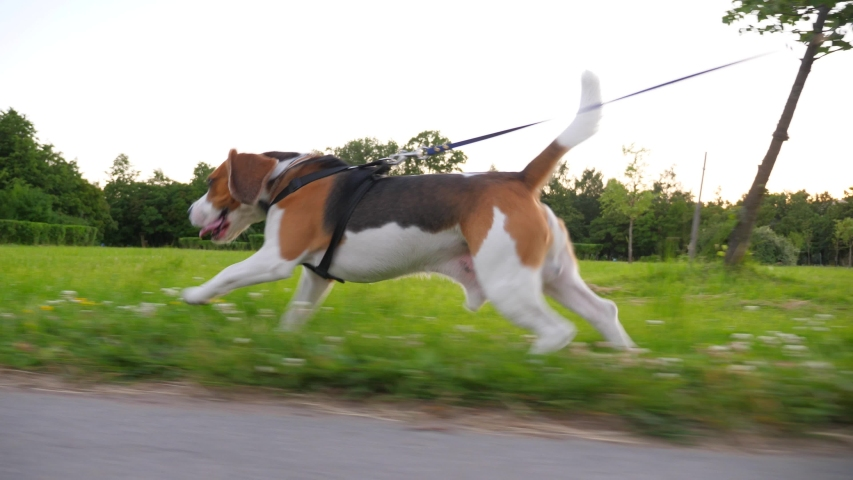 Sportive dog running fast at bike lane side in city park, moving camera slide beside, tracking shot. Beagle jog by green grass, strain leash, love active exercises   Shutterstock HD Video #1035128222