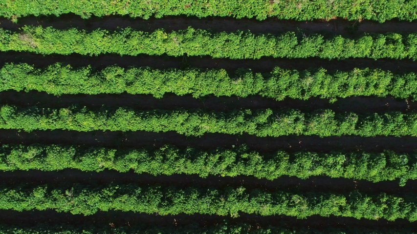 Aerial view of a coffee farm. Coffee plantation viewed from above. Big coffee farm. Coffee plants. Minas Gerais / Brazil.
